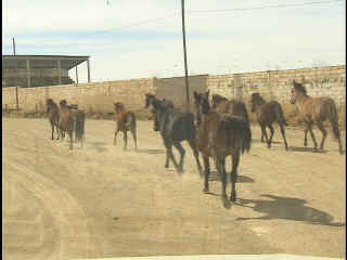 Wild horses ran down the street in front of our clinic.